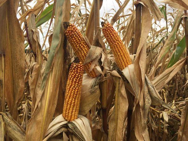 nasiona kukurydzy AGRO GANT FAO 260, kiszonka i biogaz, AGROMAIS