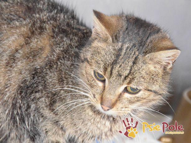 COCCOLINKA-Spokojniutka miła bura koteczka szuka kochającej rodziny,