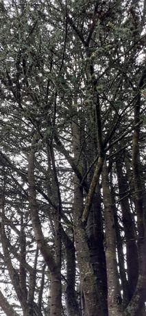 Dou madeira de Pinheiro para  lenha