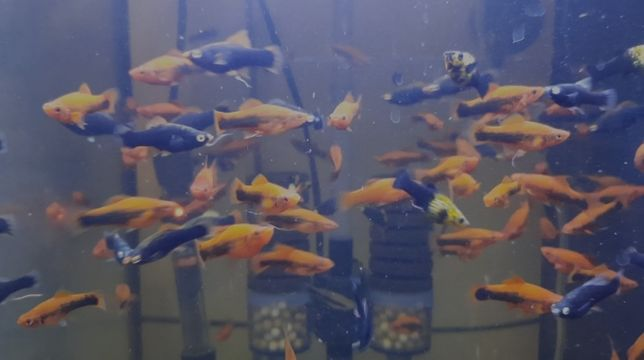 Рыбки меченосцы, гуппии, скалярии пара
