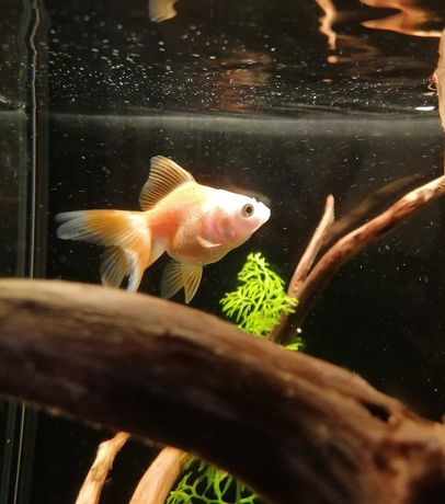 Pilnie Welon złota rybka pokarm welonka