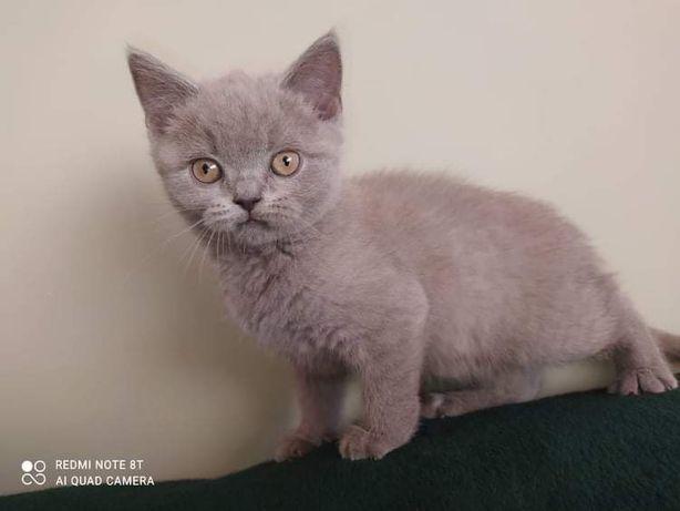 Kociaki Brytyjskie. Jutro jadę w stronę Kętrzyna.