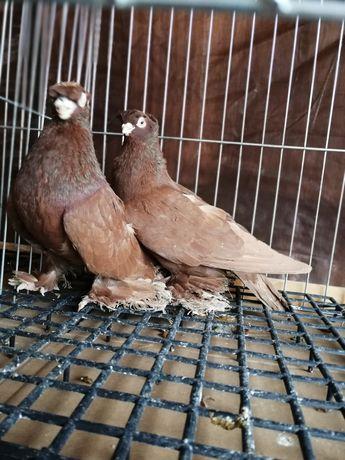Gołębie ozdobne bije uzbeckie