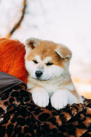 Рыжие щенки японской Акиты.