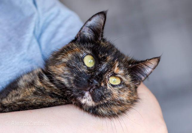 Красивая трехцветная черепаховая кошка. 1.5 года