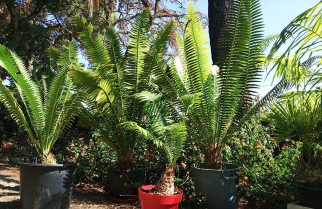 Cicas ou Encefalartos de Lebombo, Encephalartos Lebomboensis