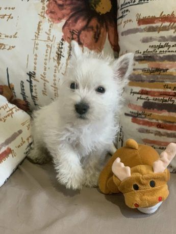 Белоснежный щенки Вестика