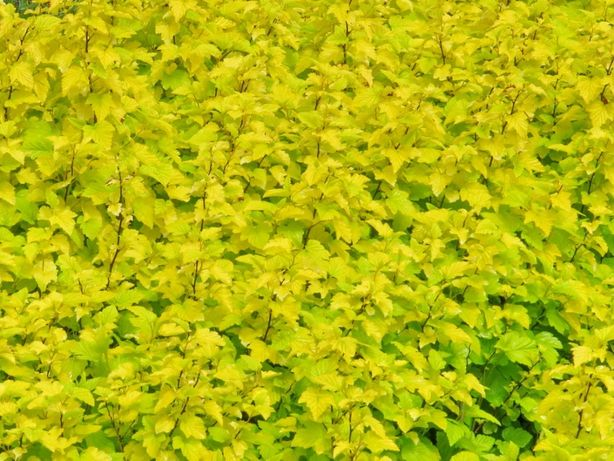 Pęcherznica Żółtolistna (Physocarpus Luteus) 30-50 cm, donica 2l