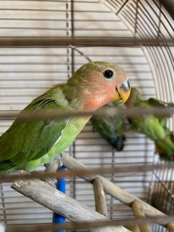 Papuga Nierozłączka/Para2sztuki/