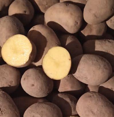 Ziemniaki sadzeniaki GALA ziemniak sadzeniak 0,55 zł /kg