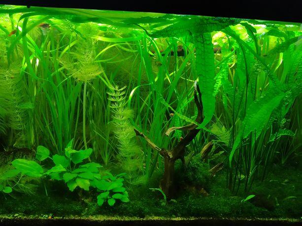 Kryptokoryna  wendtii 5-18cm rośliny akwariowe z przycinki