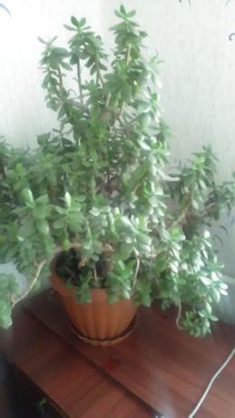 Продам денежное дерево (толстянку),а также саженцы ежевики и малины.