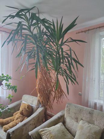 Продам вазон пальма