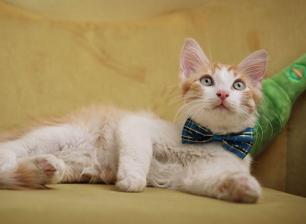 Отдам бело-рыжего котёнка,мальчик , 4 месяца