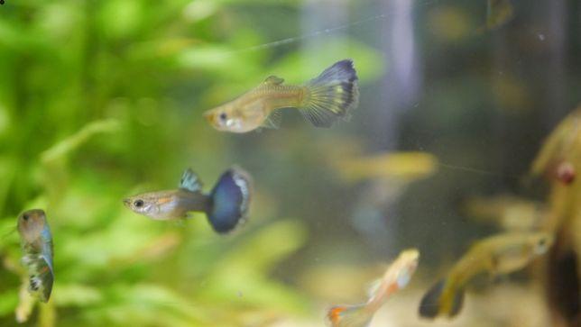 Гуппі. Продам рибки в акваріум. Гуппи