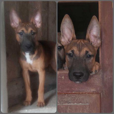 Cadelinhas para adopção
