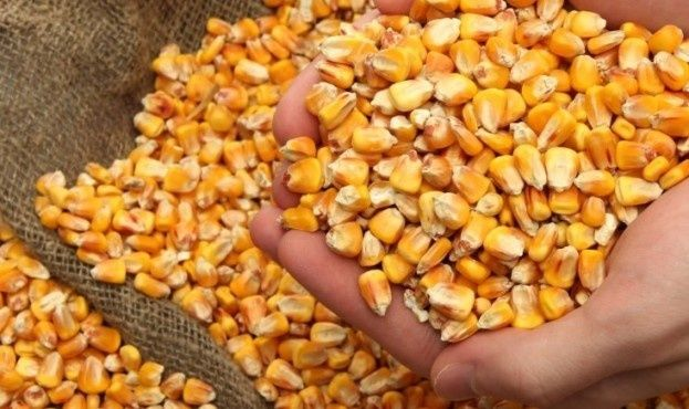 Продам кукурудзу, урожай 2021 року. Відро 50 грн.
