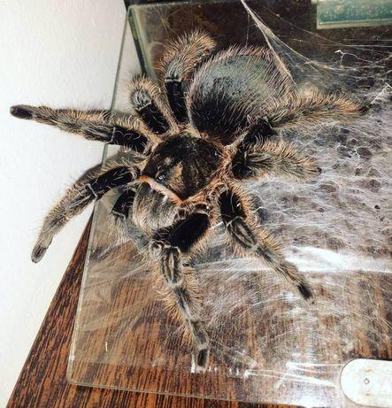 Идеальные пауки для новичков Птицеед Brachypelma albopilosum самка