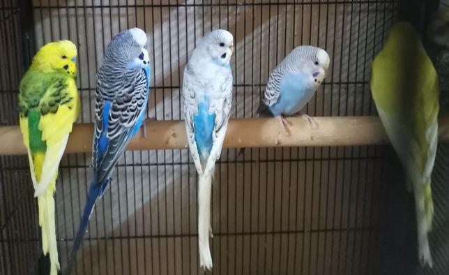Papugi Faliste  młode i dorosłe.