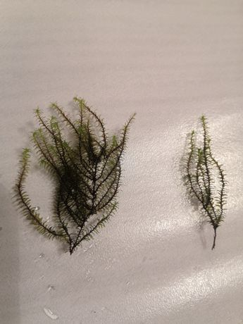 Milimeter moss - Barbula sp.