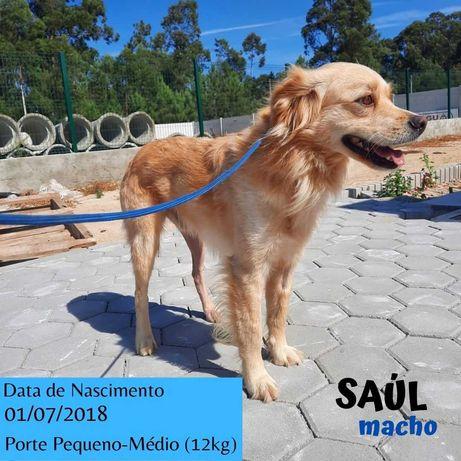 Cão Porte Pequeno-Médio (12kg) Para Adoção (Saul)
