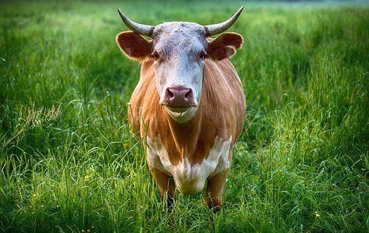 Продам быков на мясо