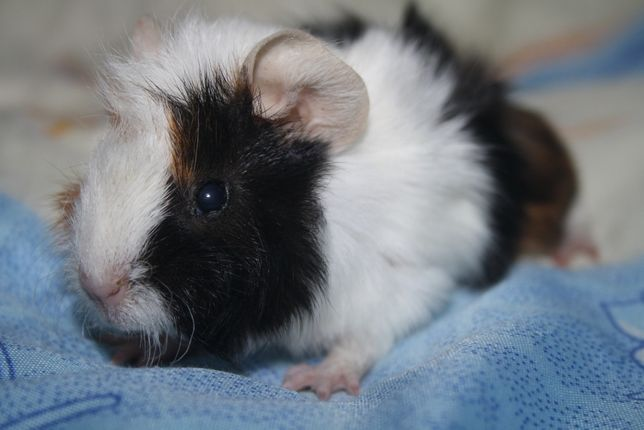 Красивенькие свинки по доступным ценам