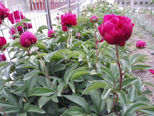 Продам розовые и малиновые пиони