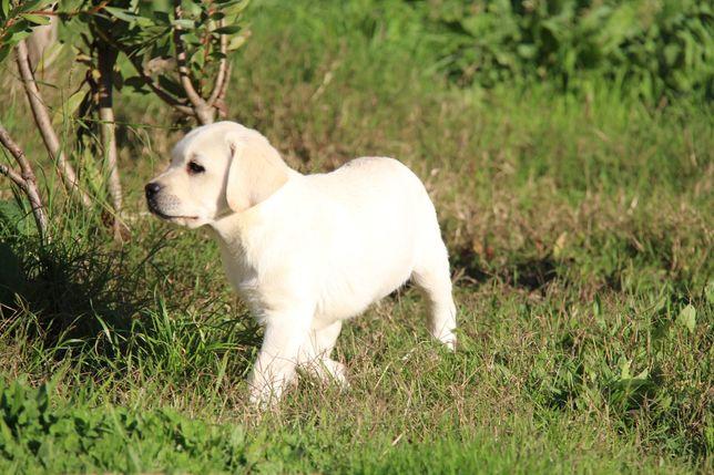 Cachorra Labrador Com Lop