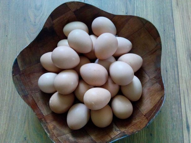 Perliczki jaja lęgowe