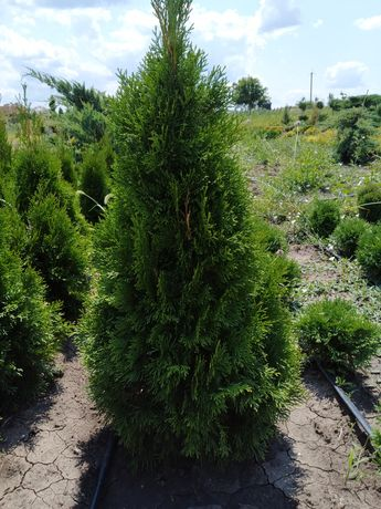 Туя Смарагд та інші рослини