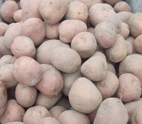 Ziemniaki Sadzeniaki sadzeniak ziemniak BELAROSA