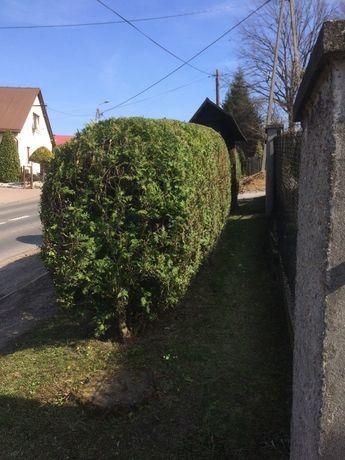 Wycinka drzew, przycinanie tuji, koszenie, grabienie usługi ogrodnicze