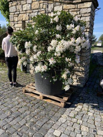 Rododendron Białe Kwiaty Piękny Okaz