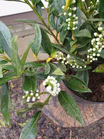 Laurowiśnia wschodnia Rotundifolia Caucasica Otto Luyken