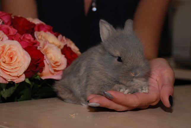 Голландский миниатюрный торчеухий кролик для дома