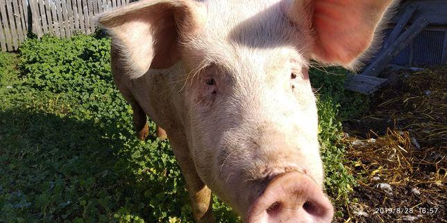Свинья продается