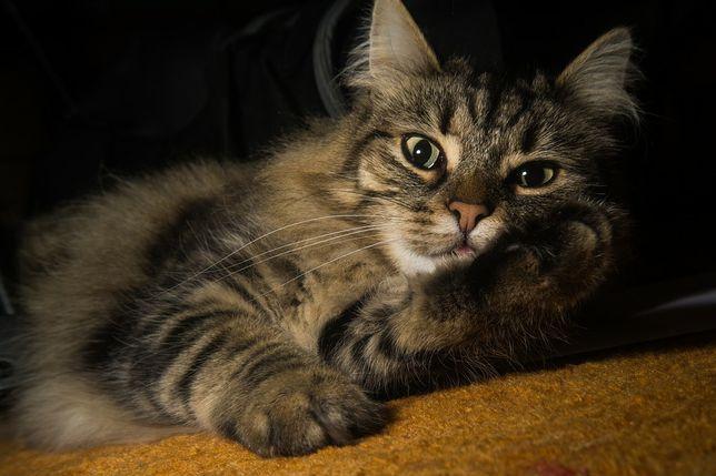 Отдам кошеку лесного окраса. Котики. Котята.