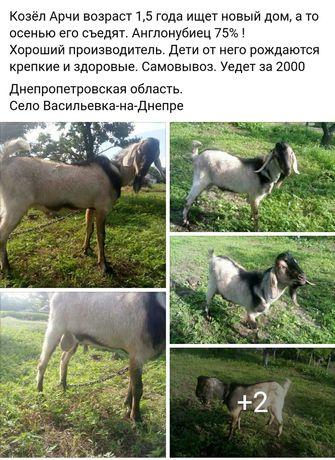 Коза зааненская, козочка, козленок
