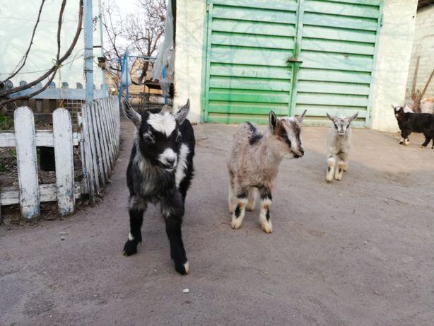 Продам козенят, молодого козла, козине молоко, козье молоко