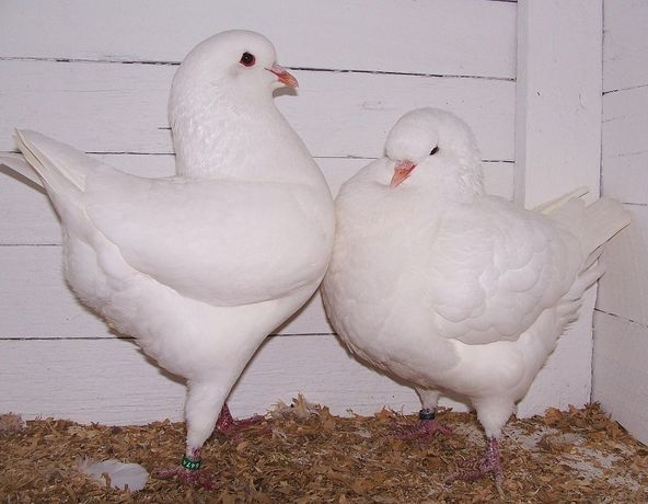 Продаются голуби мясные породы Кинги и Римские мясные .