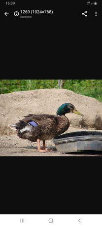 Kaczki kaczor kury biegusy