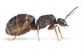 Продам муравьев вида Lasius Niger / ОПТ / Розница