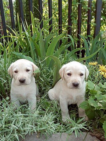 Labrador retriever biszkoptowy