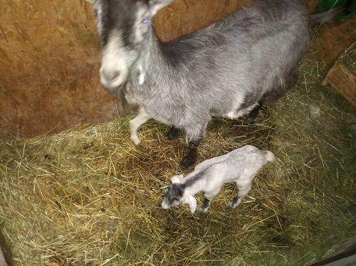 Молочные козлята Англо-нубийской породы