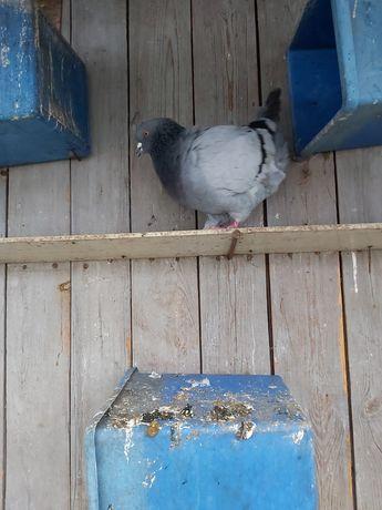 Sprzedam gołębie Kingi