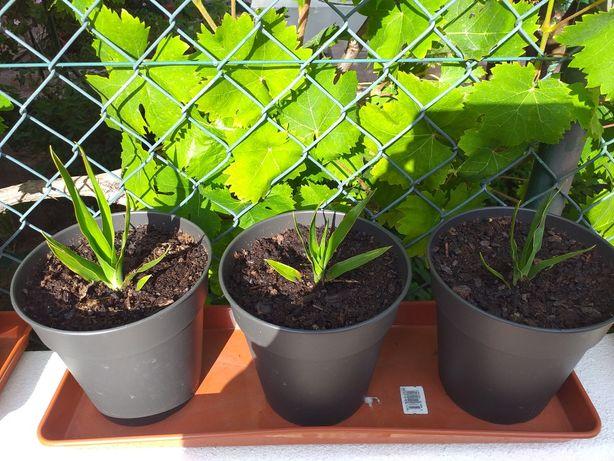 Vendo espécie de planta rara - Dragoeiros 10€/cada