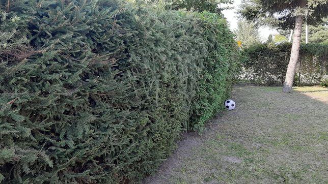 Drzewka Tuje Świerki Choinki Tanio