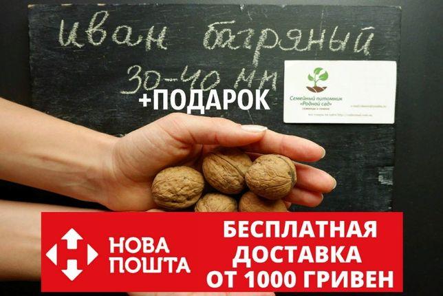 Орех Иван Багряный семена 30-40мм (10 шт)сорт карликовый грецкий горіх