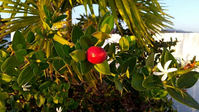 Карисса крупноплодная -семена. Carissa macrocarpa